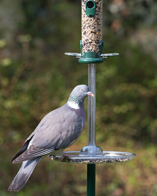 Pigeon Spacer