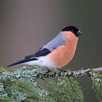 21 Facts On Bullfinch I2