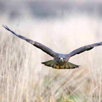 21 facts on buzzard tweetapedia living with birds