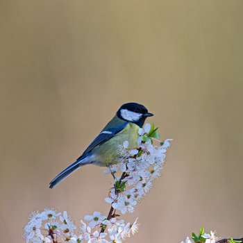 21 Facts On Great Tit I2