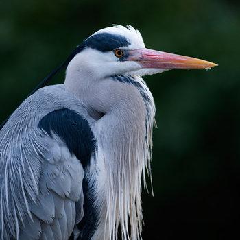 21 facts on grey heron tweetapedia living with birds