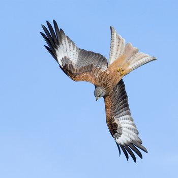 kite bird images