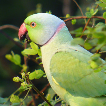 21 Facts on Ring-necked Parakeet - Tweetapedia - Living with