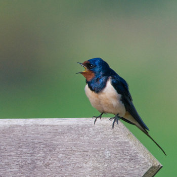 21 Facts on Swallow - Tweetapedia - Living with Birds