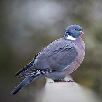 21 Facts On Wood Pigeon Tweetapedia Living With Birds